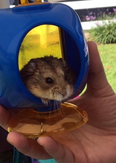 This hamster named Ben was rescued by a Hamster Rescue