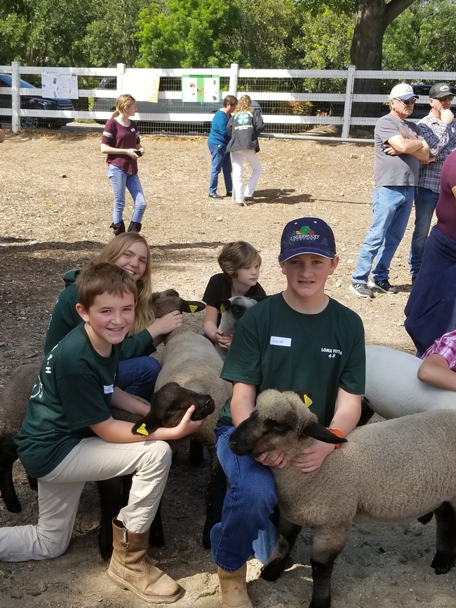 4-H'ers from all over Ventura County brought their market lambs to Small & Large Animal Field Day
