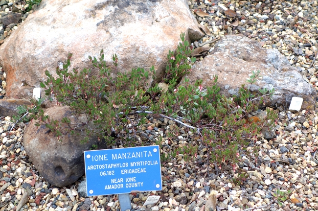 A botanical specimen of Ione manzanita, a federally listed threatened species, is susceptible to root rot caused by introduced Phytophthora in its natural range. (Photo: Wikimedia Commons)