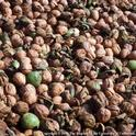 UC now has cost estimates for growing conventional and organic walnuts.