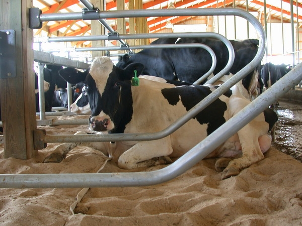 Comfortable dairy cows will lay down 14 hours a day. (Photo: The Dairyland Initiative, U. of Wisc.)