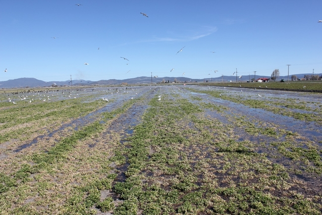 The costs and returns of producing alfalfa under flood irrigation is one of five new reports by UC ANR.