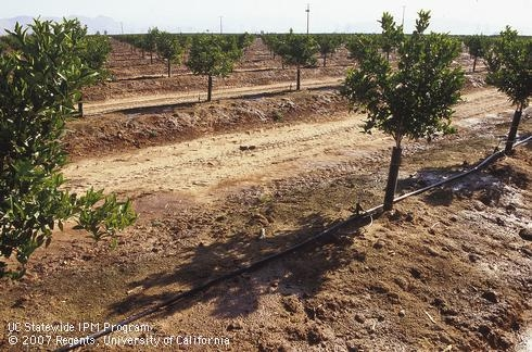 A young citrus orchard in Tulare County.
