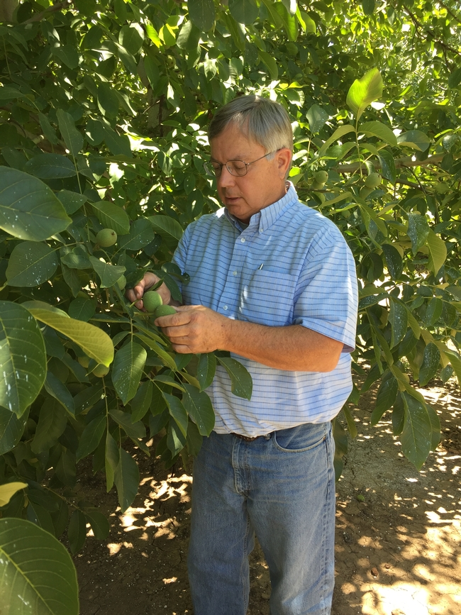Grant, looking at walnuts in hull, is credited with making pheromone mating-disruption an option for codling moth control, grower acceptance of a pressure bomb for optimal irrigation timing, rootstock research and use of cover crops in walnuts.