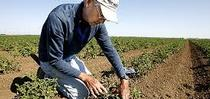 Gene Miyao examines a transplanted tomato plant. Photo courtesy of Davis Enterprise for ANR news releases Blog