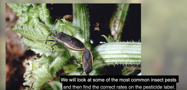 The video shows how to identify some common pests on specialty vegetable crops and find the correct rate to apply for each pest on a pesticide label.