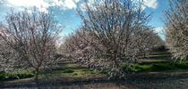 Valley orchard in bloom for ANR Adventures Blog