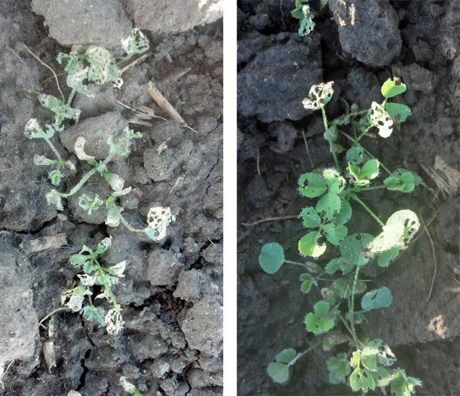 Damage (severe on left and less severe on right) from pale striped flea beetles. (Photos: Matt Chase)