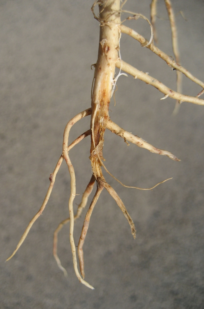 Photo 3. Lower tap root rotting but lateral rots are stronger.