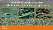 YouTube video showing how to identify parasitized caterpillars in alfalfa fields