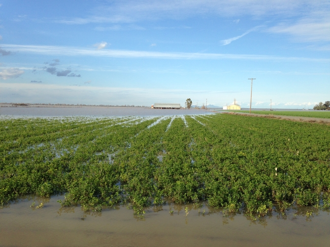 Flooded alfalfa stand, Sacramento Valley, 2017.