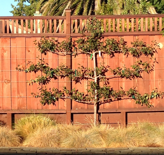 Espaliered Pear Tree 2014