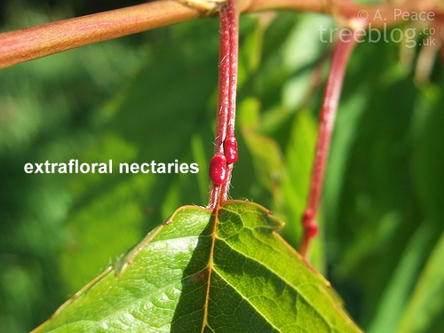 extrafloral nectaries