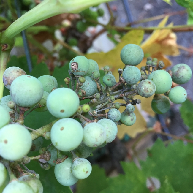 Zinfandel Grapes with Powdery Mildew