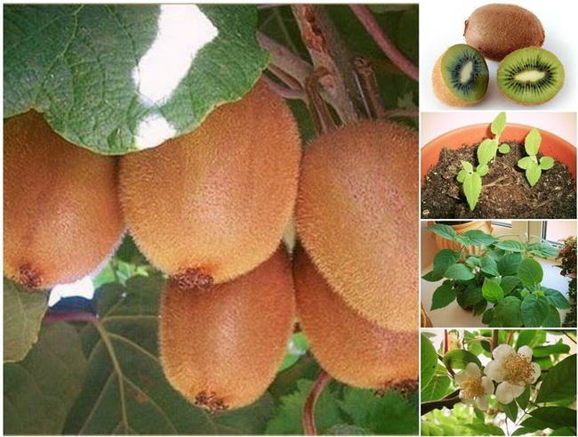 How-to-Grow-a-Kiwi-Plant-from-Seed