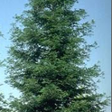 Coast Redwood<br>Sequoia sempervirens<br>photo: UC IPM