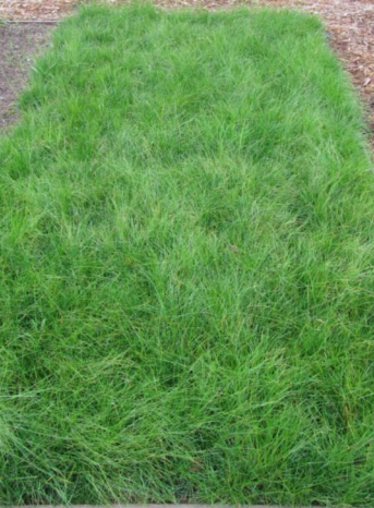 Fescue <I>rubra</I> 'Molate'