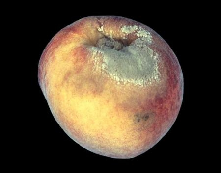 nectarine with brown rot<br>picture: UCANR