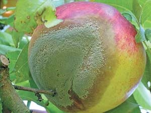 Peach with Brown Rot<br>picture: goodfruit.com