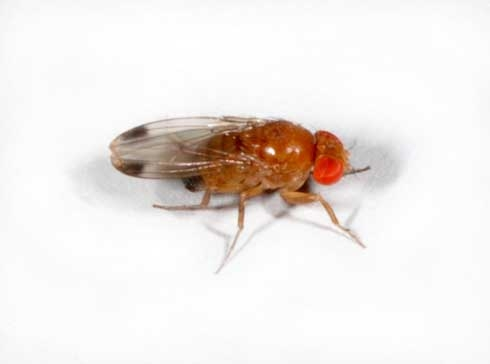 Male spotted wing drososphila