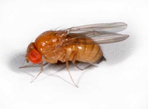 Female spotted wing drososphila