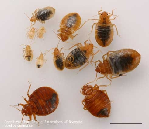 Bed Bugs -- adults and nymphs