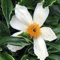 Bush Anemone<br>aka Carpenteria californica
