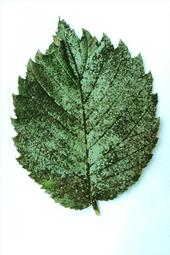 sooty mold on leaf