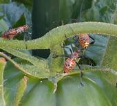 <center>Leaffooted Bugs (nymphs)<br>enjoying a CCC tomato</center>