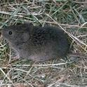 vole (meadow mouse)