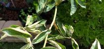 Powdery Mildew on Rose for HOrT COCO-UC Master Gardener Program of Contra Costa Blog