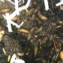 Black Soldier Fly <br>in worm bin -1-