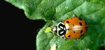 Lady beetle eating an aphid. (Credit: Jack Kelly Clark) for Community Pest News Blog