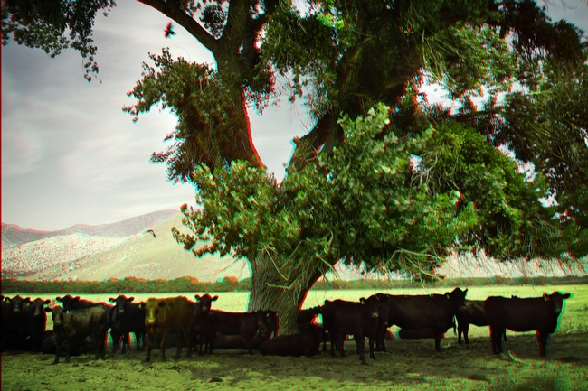 Cattle finding shade through silvopasture practices. Photo credit David Hazen on Flickr