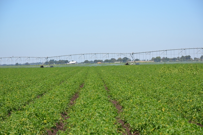 Pivot irrigation in a tomato field near Walnut Grove
