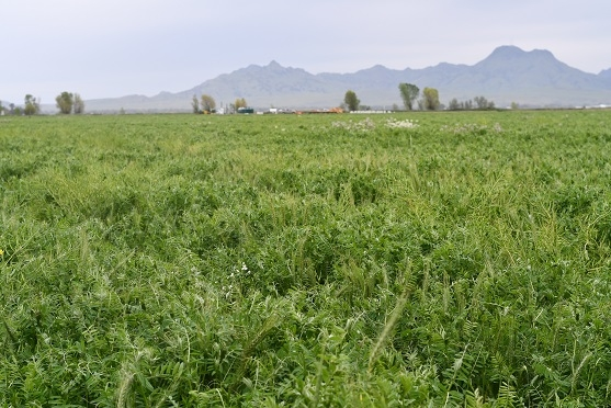Vetch cover crop growing at Meridian, CA farm of Vincent Andreotti, April 2019
