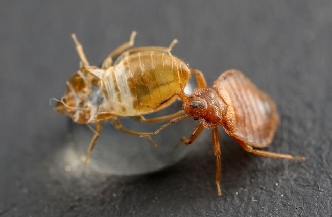 bed-bug-on-an-exuvia 2