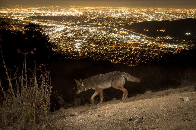 A coyote wearing a tracking collar looks out over downtown Los Angeles. Photo by Johanna Turner