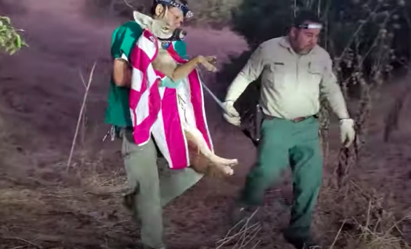 The coyote is held vertically, wrapped in a pink and white striped towel, feet dangling. The coyote is muzzled. The men walk on low light through brush.
