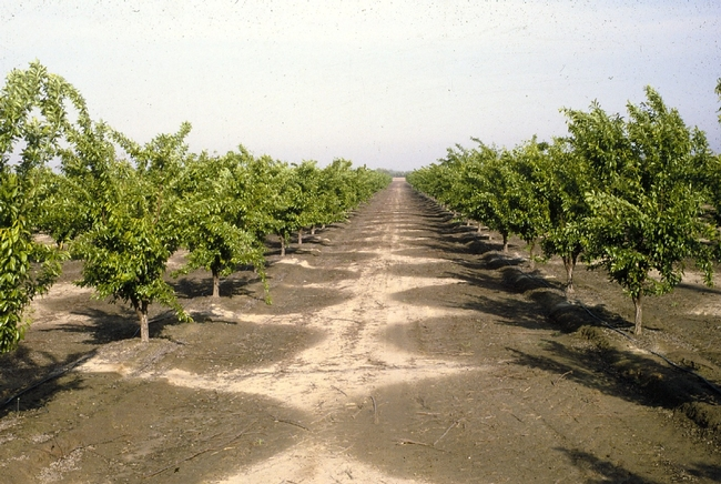 Orchard irrigation. Photo by Jack Kelley Clark, UC IPM Program.