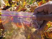 A bag of red grapevine leaves: could this be red blotch virus?