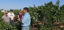 Dr. Kaan Kurtural describes transitioning a vineyard from head to cordon trained. for Foothill Fodder Blog