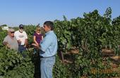 Dr. Kaan Kurtural describes transitioning a vineyard from head to cordon trained.