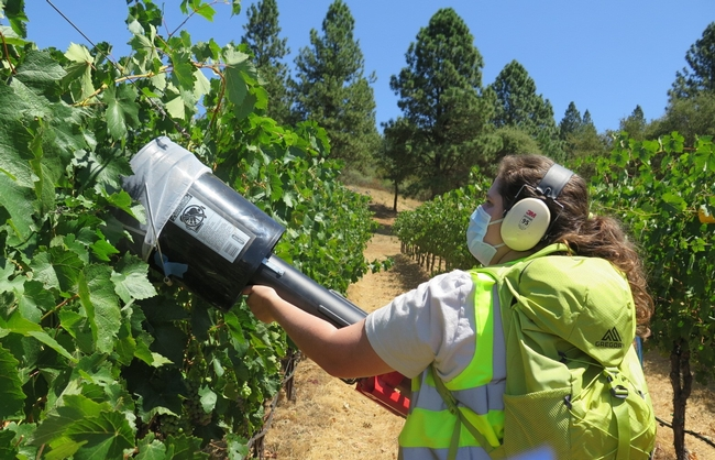 a woman holding a D-vac in a grapevine canopy