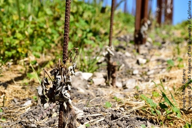 Figure 6. Frost damage to second leaf vines; the very low height of the sensitive tissues and influence of the heavy cover crop puts these vines at higher risk.