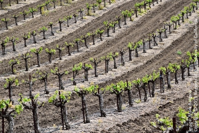 Figure 1. The bare soil in this vineyard will effectively store heat from the sun during the day and release it back at night.