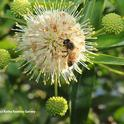 A honey bee foraging on button willow, also known as button bush, Cephalanthus occidentalis. Honey bees on non-natives, and the button bush is a native California plant. (Photo by Kathy Keatley Garvey)