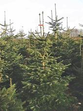 Nordmann fir Christmas trees are becoming popular on California farms because they have rich color, excellent structure, good needle retention and strong branches for ornament display.