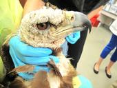 Golden eagle before treatment
