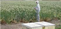 A researcher counts honeybees in a blooming onion field. for Green Blog Blog